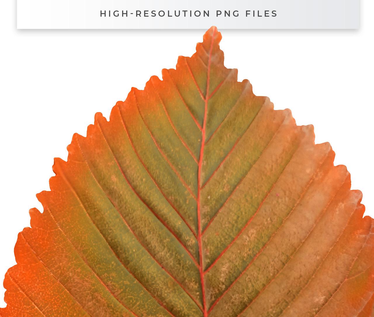 High Resolution Autumn/Fall Leaves