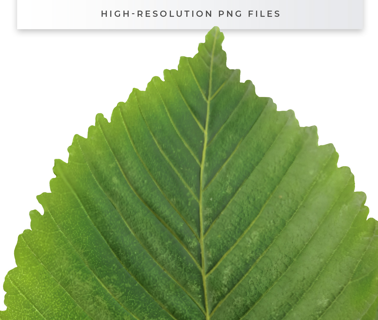 High Resolution Leaf Cutout PNG