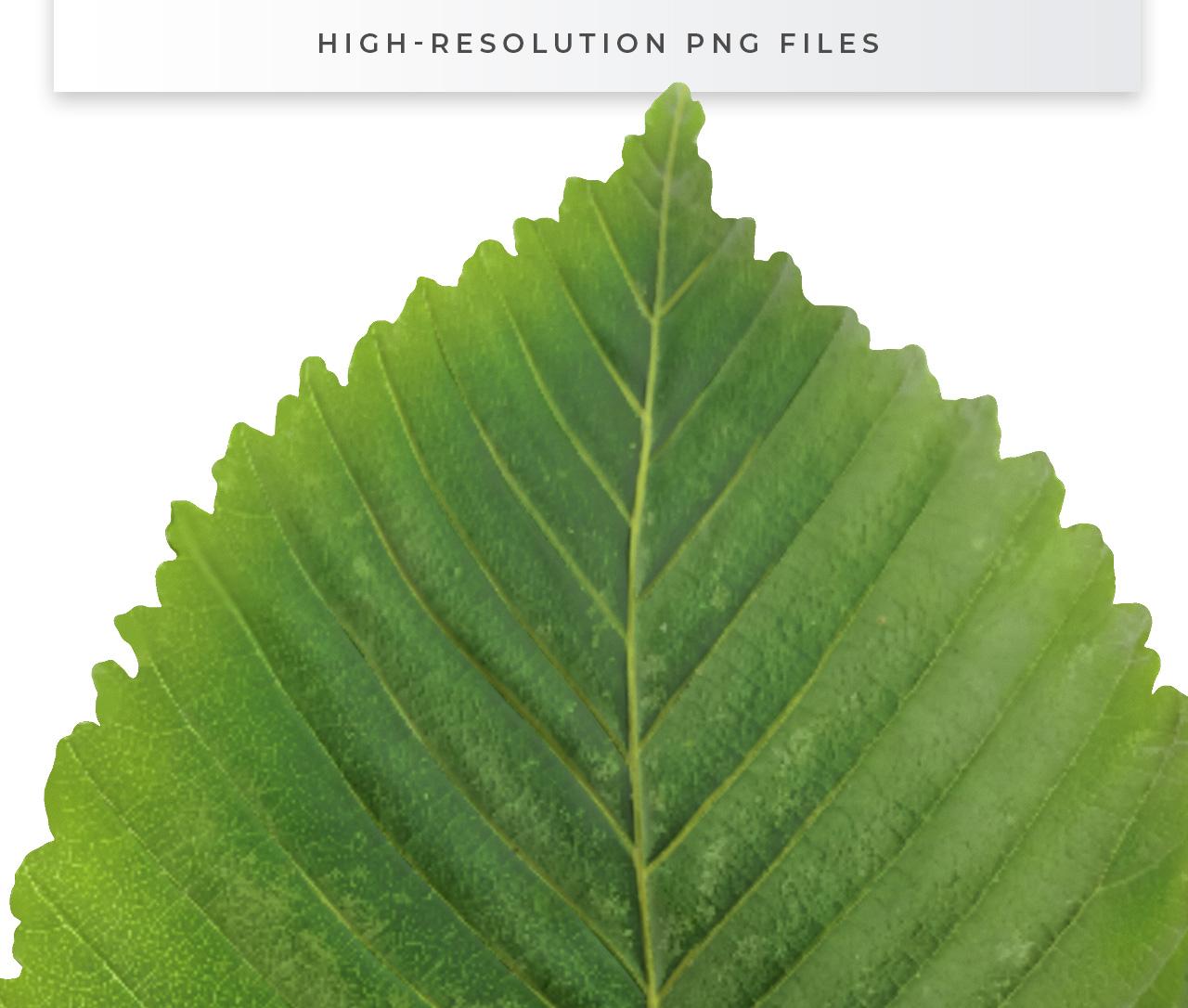 High Resolution Leaf Cutout PNG